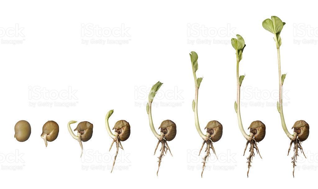Resultado de imagen de sembrar habas en colegio alqueria